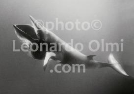 Australia, Grande Barriera Corallina, balenottera dal naso appuntito (31-6) TIF2 BN copia copy