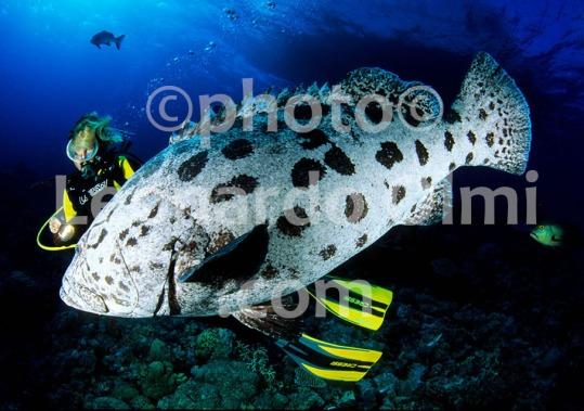 Australia, Grande Barriera Corallina, Cernia Gigante (3-10) TIF copia copy
