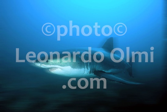 Australia, South Australia, Great White Shark (14-4) JPG2 blur copy
