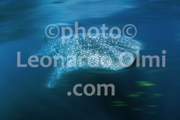 Australia, Western Australia, Exmouth, whale shark, snorkelers (2-12) JPGblur3 bis copy