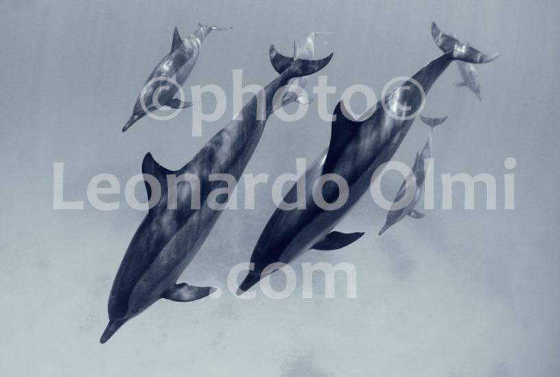 Egitto, Marsa Alam, branco di delfini (34-2) TIF3 BN copia copy
