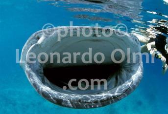 Maldive, atollo di Ari, Maamingili, bocca di Squalo Balena (2-7) TIF2 copia copy