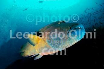Giant Napoleonfish (Chelinus undulatus), Mushimasmingili Thila, Ari Atoll, Maldives