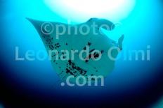 Maldives, Manta ray DSC_9174 TIF copy
