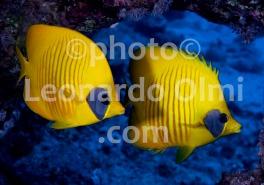 Mar Rosso, Egitto, Ras Katy, coppia di pesci farfalla DSC_8994 TIF2 copia copy