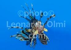 Mar Rosso, Egitto, Ras Umm Sid, pesce scorpione DSC_9141 TIF3 copia copy