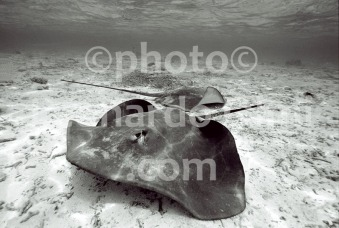 Polinesia Francese, Bora Bora, razze in laguna (1-7) TIF BN copia copy