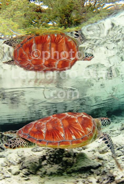 Polinesia Francese, Bora Bora, riflesso di una tartaruga DSC_4666 TIF bis2 copia copy