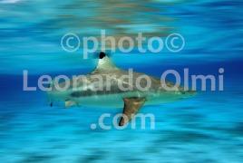 Polinesia Francese, Bora Bora, squalo pinna nera in laguna (1-20) TIF2 blur copia copy