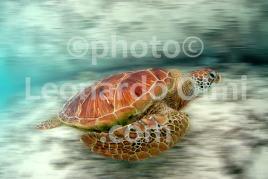 Polinesia Francese, Bora Bora, tartaruga DSC_4610 TIF bis blur copia copy