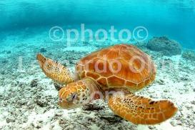 Polinesia Francese, Bora Bora, tartaruga DSC_4640 bis2 copy