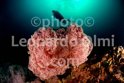 Thailand, giant soft coral and diver DSC_8716 JPG copy