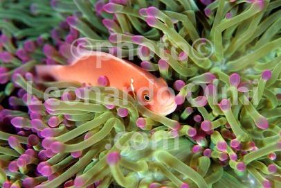 Thailand, Kho Samui, pink anemonefish, sea anemone (1-5) JPG copy
