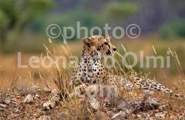Africa, Kenya, safari, cheetah DSC_1882 bis2 JPG copy