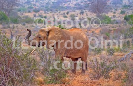 Africa, Kenya, safari, elephant DSC_1855 bis copy