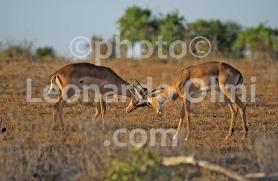 Africa, Kenya, safari, gazzelle DSC_2169 bis copy