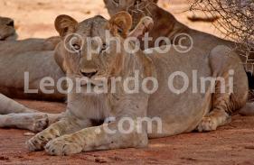 Africa, Kenya, safari, lions DSC_2725 bis copy