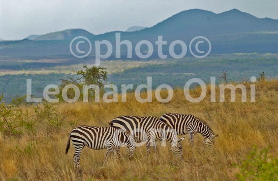 Africa, Kenya, safari, zebras DSC_2839 bis2 JPG copy