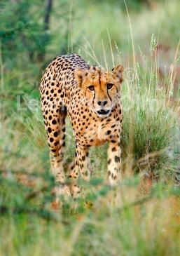 Cheeta, Tswalu Reserve, Kalahari, South Afrca, Africa