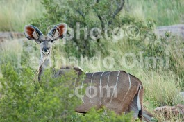 Africa, South Africa, Tswalu Reserve, Kalahari Desert DSC_5571 JPG copy