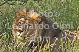 Africa, South Africa, Tswalu Reserve, Kalahari Desert, lion DSC_7279 JPG copy