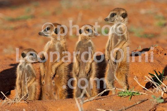 Africa, South Africa, Tswalu Reserve, Kalahari Desert, suricates DSC_7094 JPG copy