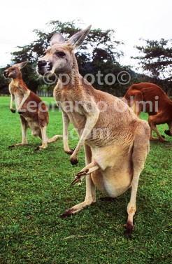 Australia, Queensland, kangaroo (39-3) JPG copy