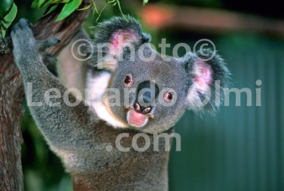 Australia, Queensland, Koala (79-3) JPG copy