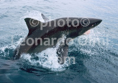 Australia, South Australia, Great White Shark jumping out of water (40-9) copy