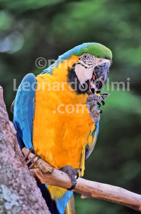Brazil, parrot (54-2) JPG2 copy