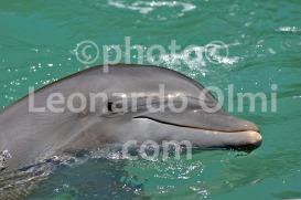 Dolphin in delphinarium at Tortola Island, British Virgin Islands, Caribbean