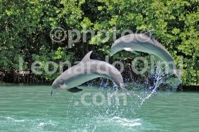 Dolphins in delphinarium at Tortola Island, British Virgin Islands, Caribbean