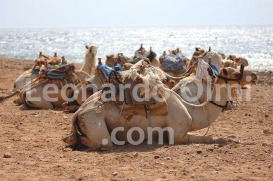 Egypt, Dahab, camels at beach
