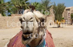 Egypt, El Quesir, camel