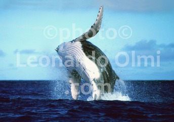 French Polinesia, Tahiti, humpback whale, breaching (41-8) TIF2 copia copy