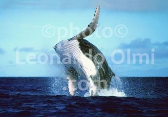 French Polinesia, Tahiti, humpback whale, breaching (41-8) TIF2 copia copy