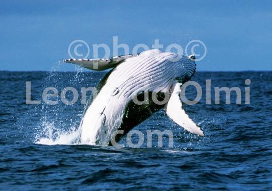 French Polinesia, Tahiti, humpback whale, breaching (42-14) TIF3 copia copy