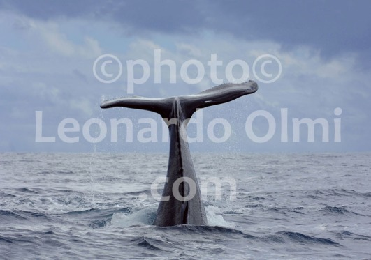 French Polinesia, Tahiti, humpback whale tail DSC_3733 bis copia copy