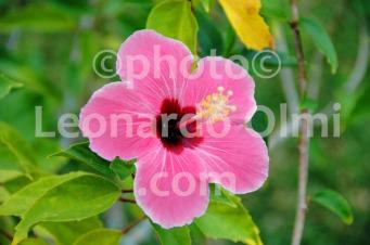 French Polynesia, Bora Bora, pink hybiscus flower DSC_1230 bis copia copy