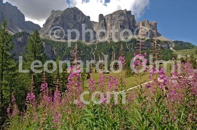 Italy, Dolomites mountains, P.so Gardena, Sella group, flowers DSC_1894 copy