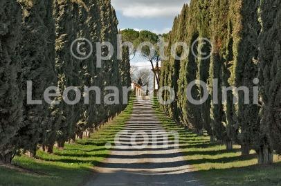 Italy, Tuscany, Buonconvento, Val d'Orcia, cypress DSC_5734 JPG copy