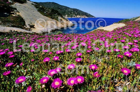 Italy, Tuscany, Giglio island, pink flowers, bay, sea (33-6) JPG2 copy