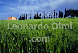 Italy, Tuscany hills, Val d'Orcia, grain field and cypress (147-18) JPG copy
