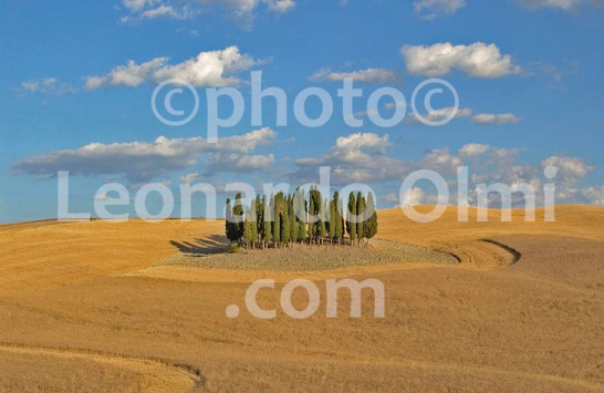Italy, Tuscany, Siena, Val d'Orcia, cypress in grain field DSC_1879 bis JPG copy