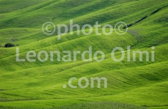 Italy, Tuscany, Siena, Val d'Orcia, grain field DSC_0142 bis copia copy
