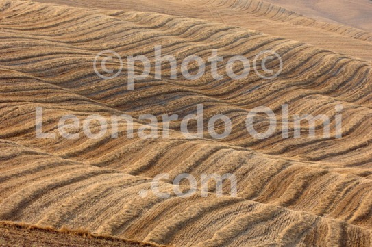 Italy, Tuscany, Siena, Val d'Orcia, grain field DSC_0390 bis copia copy