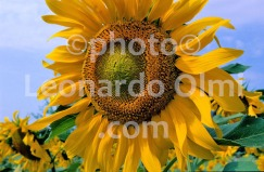 Italy, Tuscany, sunflower (46-19) JPG2 copy
