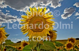 Italy, Tuscany, sunflowers DSC_1841 bis2 copy