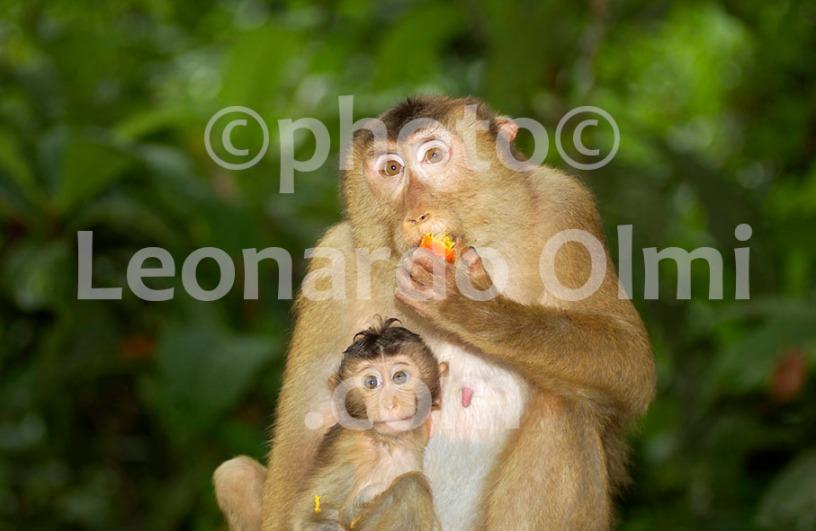Malaysian Borneo, monkeis DSC_0770 copy