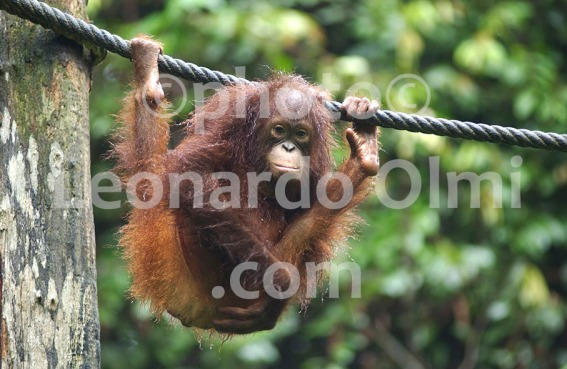 Malaysian Borneo, Orang Utan DSC_0642 bis copy